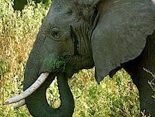 Elephant Ivory Project Update: Ground