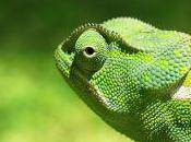 Featured Animal: Chameleon