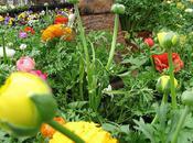 Ranunculus, Spring Mellow Yellow Monday