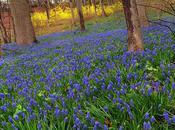 Muscari Woods Forsythia Too...