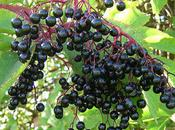 Perfume Illuminated: Elderberry