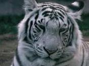 Featured Animal: White Tiger