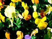 Pansies Mellow Yellow Monday