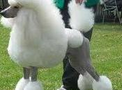 Poodle's Have That Haircut!