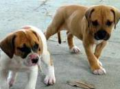 Featured Animal: American Bulldog