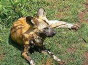 Featured Animal: African Wild