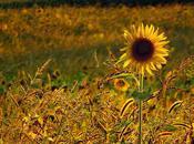 Beauty Sun(flowers)