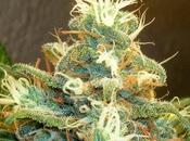 Will Nevada Next State Legalize Marijuana