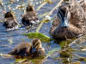 Pacific Black Ducks, Albert Park Lake