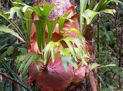 Platycerium Pretty Peculiar Plant