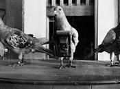 Julius Neubronner's Miniature Pigeon Camera