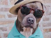 Meet Smartest Most Attractive Pitbull Instagram