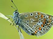 Polyommatus Icarus, Argus Bleu Common Blue
