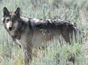 Kathie Lynch: Yellowstone Wolf Report 20th Anniversary