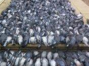 Pennsylvania Pigeon Shoots: Early Push Their Extinction
