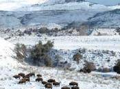 Yellowstone Begins Transferring Bison Slaughter