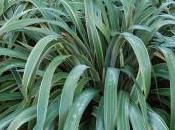 Phormium Cookianum 'Tricolor'