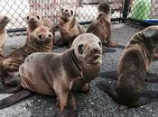 Starving Lion Pups Liquified Starfish We've Turned Eastern Pacific into Death Trap Marine Species