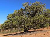 Dreaming Pinyon Pines