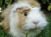 Featured Animal: Guinea
