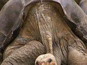 Extinct Giant Tortoise Still Alive Galapagos