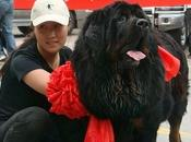 Consumer Taste Change Tibetan Mastiff Falls China !!!!