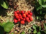 Rhubarb Strawberry Cordial