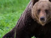 Best Wolverine Bear Watching Finland