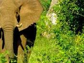 Follows Trail Illegal Ivory Trade