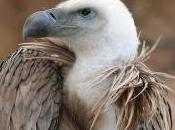 Featured Animal: Vulture