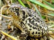 Feds Finalize Plan Save Country's Most Endangered Toad