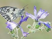 Genetic Differentiation Marbled White...