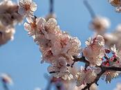 Japan, Tokyo Plum Blossoms Yushima Tenjin