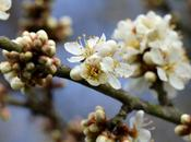 Wordless Wednesday Spring Blackthorn Blossom