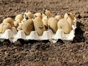 Good Friday Planting Potatoes