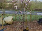 Almond Tree Blossom