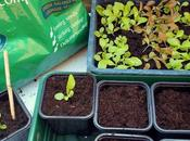 Pricking-out Lettuces