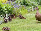Wildlife Wednesday Ducklings Brief Visit