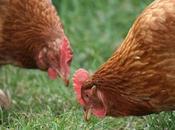 Chicken Health Mite