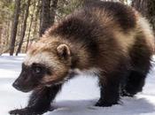 Other Wolverine Rivaled X-Men Fame Defenders Wildlife Blog