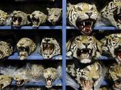 Calls Overhaul National Laws Tackle Wildlife Crime Guardian