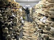 Legal Ivory Sale Drove Dramatic Increase Elephant Poaching, Study Shows Environment Guardian