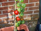 Continuing Care Tomatoes