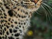 Botswana Leopard Prowl