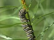 Have Monarch Caterpillars!
