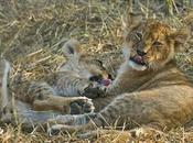 Botswana Playful Lion Cubs