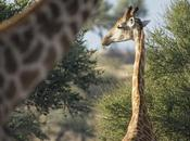Botswana Watching