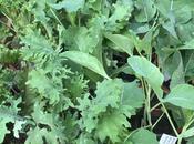 Brassicas Meet Their Fate