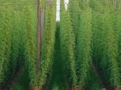 What Will Cost Meet Growing Demand Hops?