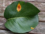 Pear Rust Fungus